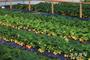 울진군, 왕피천 공원 유기농 딸기 수확 체험 운영